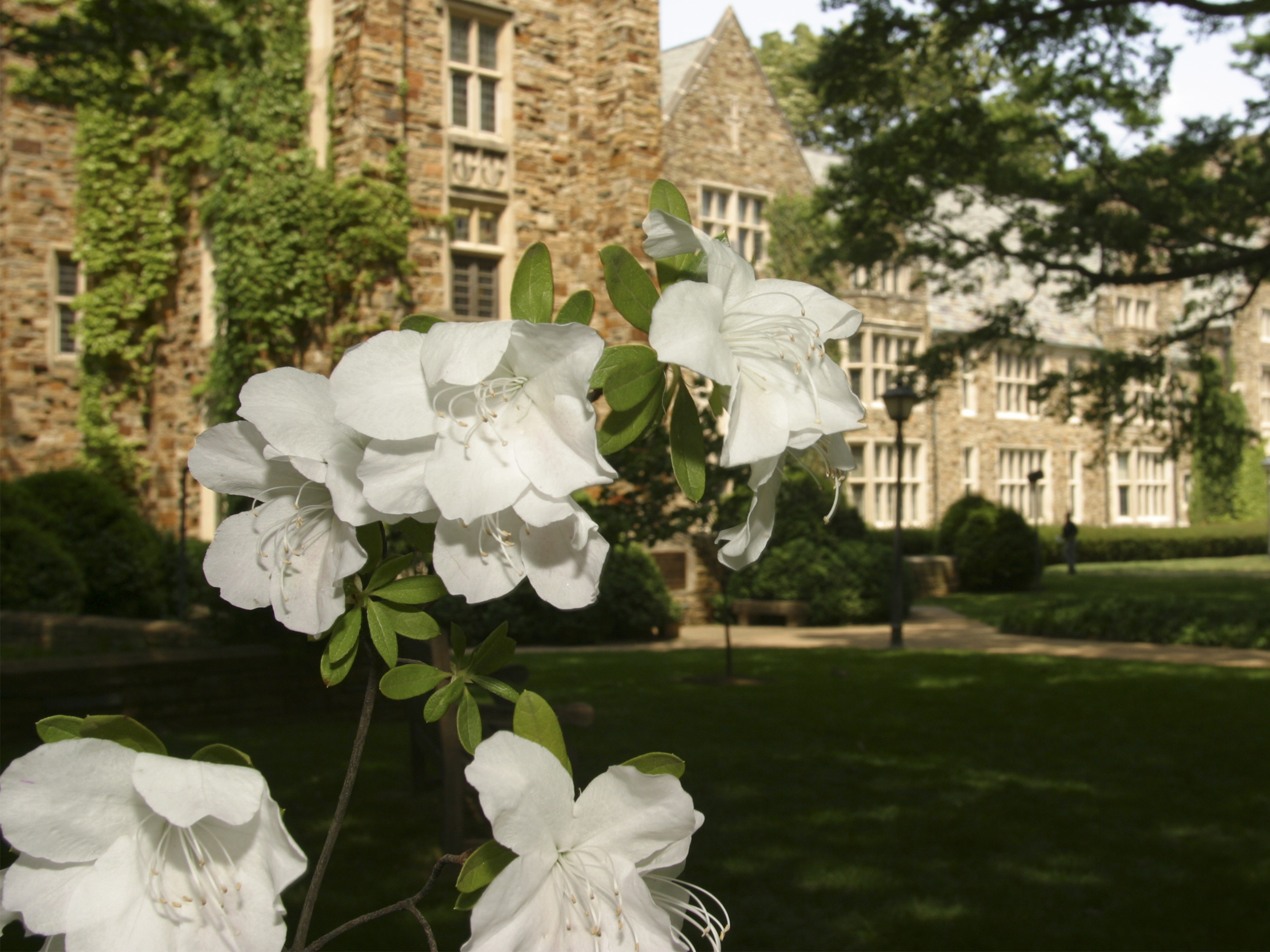 Flowers bloom on a tree in front of a Rhodes building