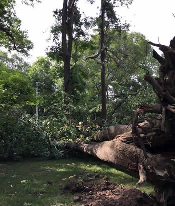 large uprooted tree that has fallen onto the ground on campus